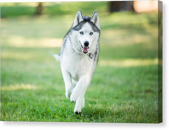 Siberian Husky Dog Running On Grass Outdoors Canvas Print by Purple Collar Pet Photography