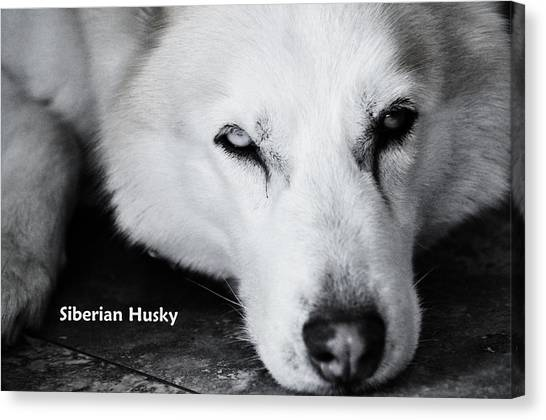 Siberian Husky  Canvas Print by Lisa  DiFruscio