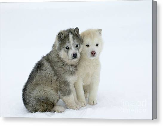 Dogs In Snow Canvas Print - Siberian Husky Puppies by M. Watson