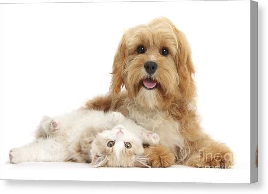 Siberian Cats Canvas Print - Siberian Kitten And Cavapoo by Mark Taylor