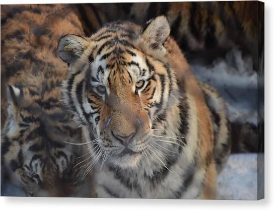 Siberian Tiger Canvas Print by Brett Geyer