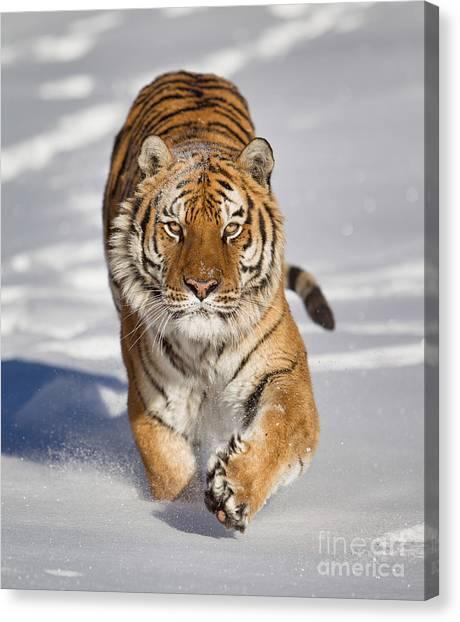 Siberian Tiger Coming Forward Canvas Print