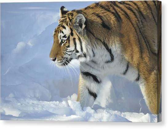 Siberian Cats Canvas Print - Siberian Tiger In Snow by Jim Avitalle