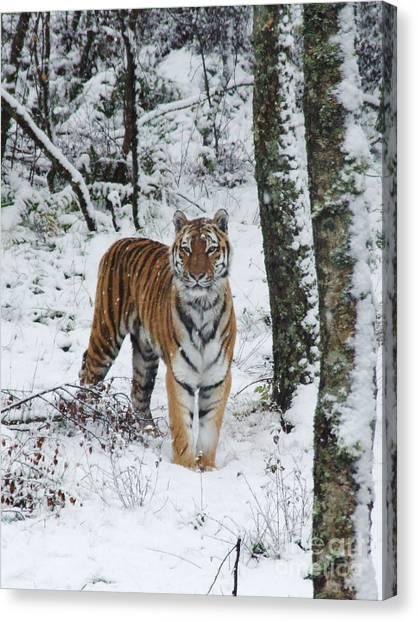 Siberian Tiger - Snow Wood Canvas Print