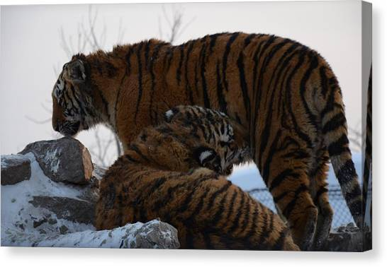 Siberian Tigers Canvas Print by Brett Geyer