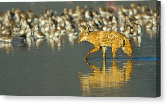 Sly Canvas Print - Side Profile Of A Golden Jackal Wading by Panoramic Images