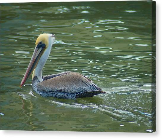 Sidelong Look From A Pelican Canvas Print by Sarah Crites