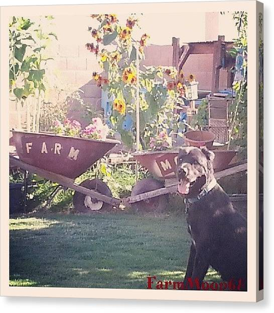 Labrador Retrievers Canvas Print - #sierra #backyard #sunflowers #flowers by Dave Moore