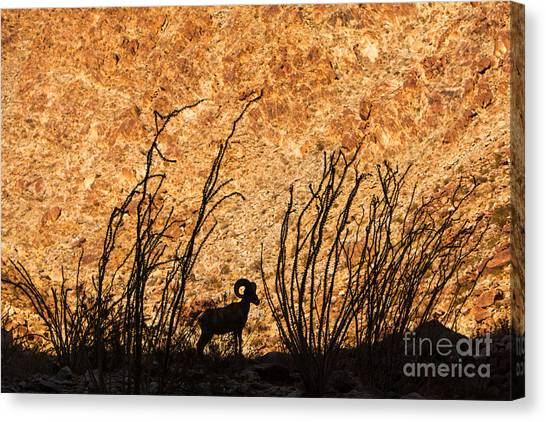 Silhouette Bighorn Sheep Canvas Print