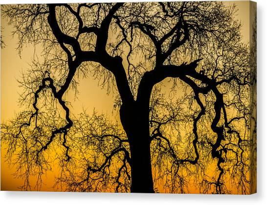 Silhouette Oak Canvas Print