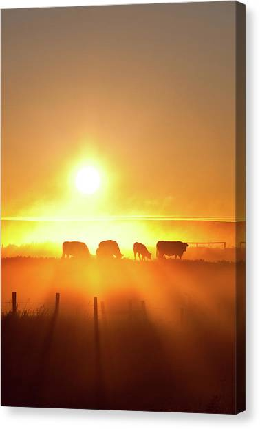 Silhouette Of Cattle Walking Across The Canvas Print by Imaginegolf