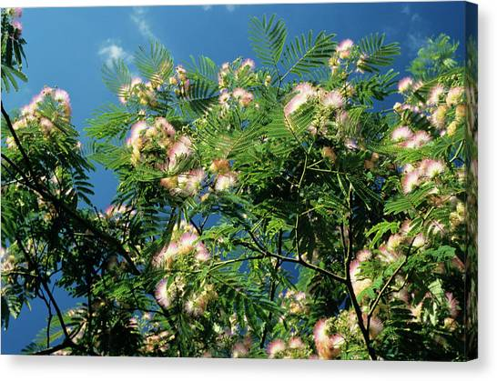 Mimosa Canvas Print - Silk Tree by M F Merlet/science Photo Library