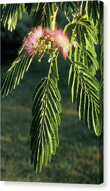 Mimosa Canvas Print - Silk Tree Stamens by Brian Gadsby/science Photo Library