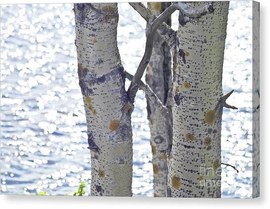Silver Birch Trees At A Sunny Lake Canvas Print