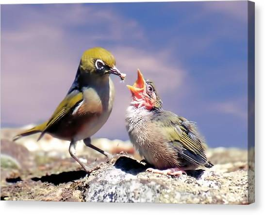 Silver Eye With Chick Canvas Print