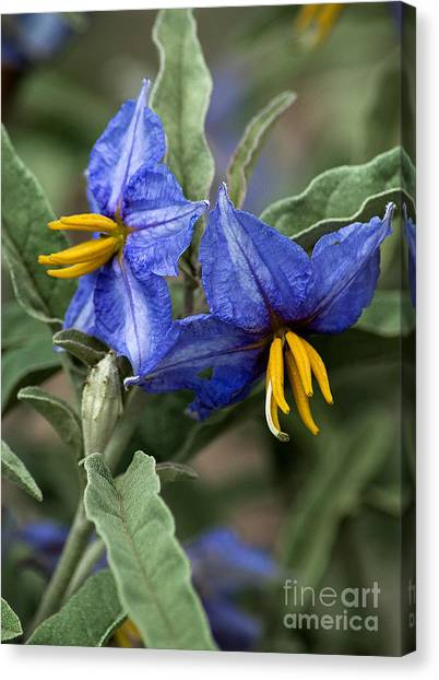 Canvas Print featuring the photograph Silver Leaf Blooms by Mae Wertz