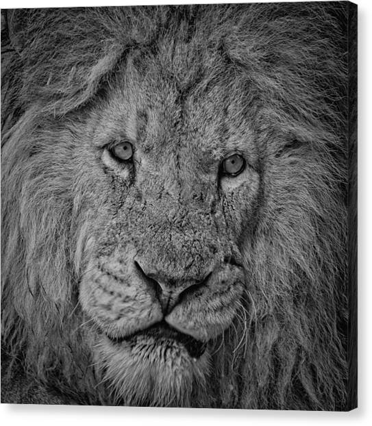 Silver Lion Canvas Print