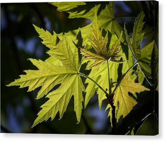 Silver Leaf Canvas Print - Silver Maple by Ernie Echols