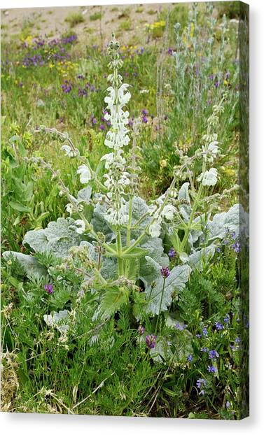 Silver Sage (salvia Argentea) In Flower Canvas Print by Bob Gibbons