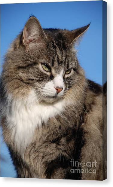 Silver Tabby Cat Canvas Print