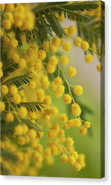 Mimosa Canvas Print - Silver Wattle (acacia Dealbata) In Flower by Maria Mosolova/science Photo Library