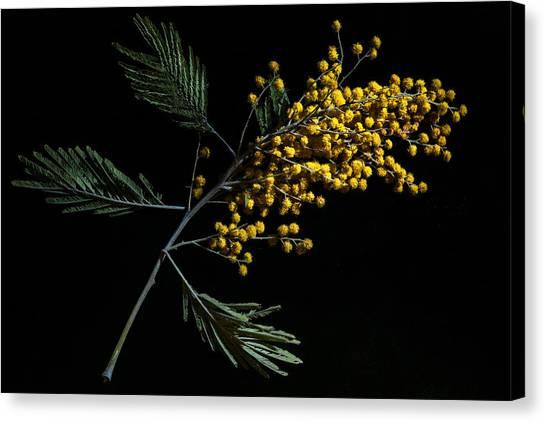 Mimosa Canvas Print - Silver Wattle Flowers by Alexander Senin