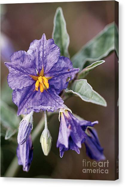 Silverleaf Nightshade Canvas Print