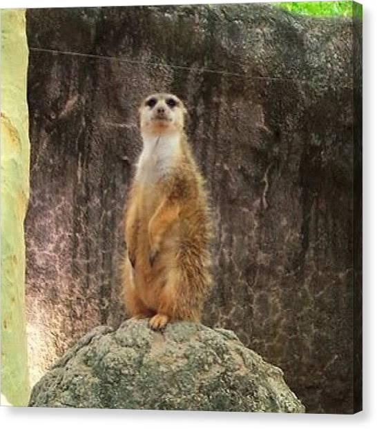 Meerkats Canvas Print - Simples😝 #meerkat #simples #zoo by Laurena Pascoe