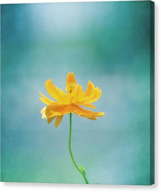 Cosmos Flower Canvas Print - Simplicity by Kim Hojnacki
