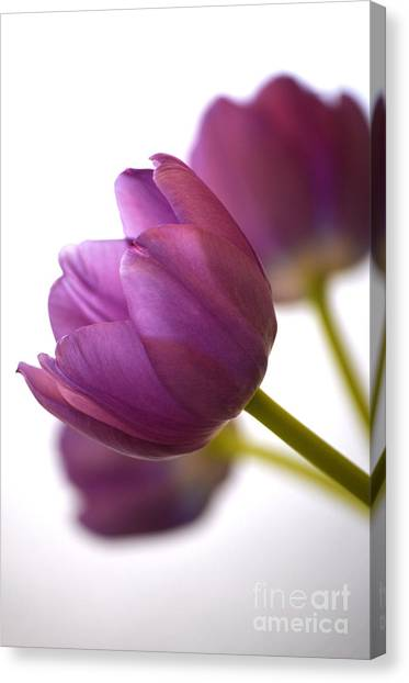 Simply Purple Canvas Print