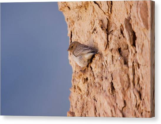 Negev Desert Canvas Print - Sinai Rosefinch (carpodacus Synoicus) by Photostock-israel