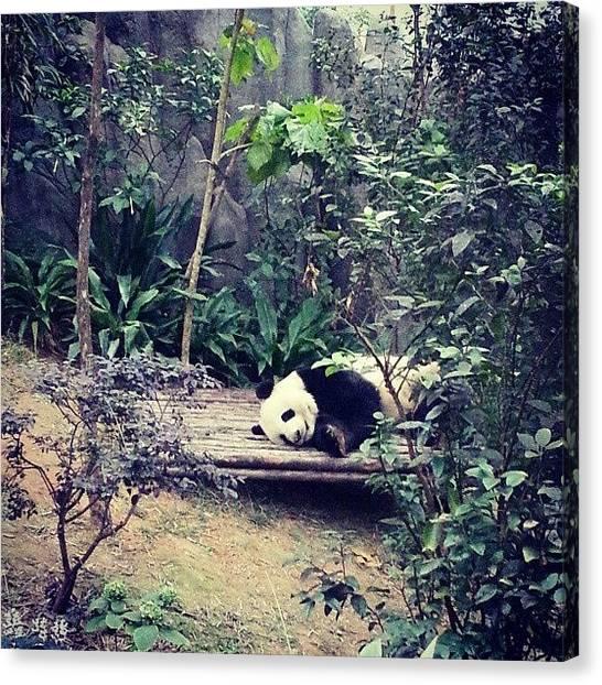 Panda Canvas Print - Singapore Loaned Panda - Jiajia by Sharon Chia