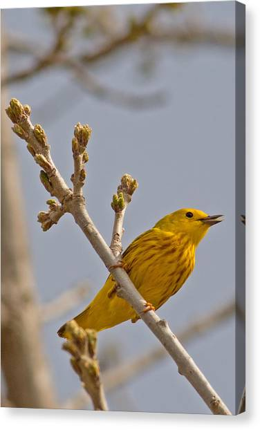 Singing Yellow Warbler Canvas Print by Natural Focal Point Photography