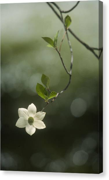 Single Dogwood Blossom Canvas Print