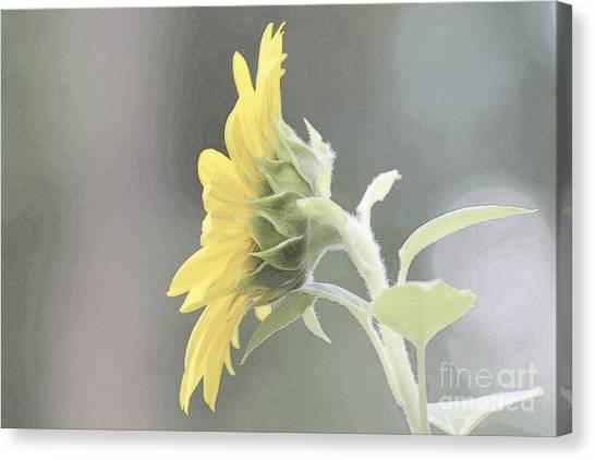 Single Sunflower Canvas Print