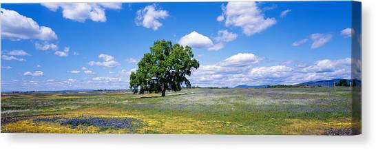 Table Mountain Canvas Print - Single Tree In Field Of Wildflowers by Panoramic Images