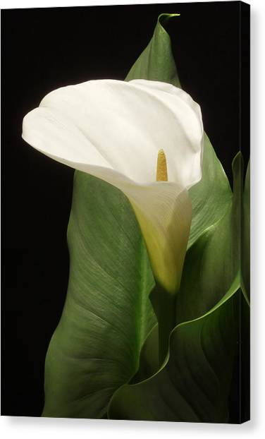 Single White Calla Canvas Print