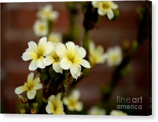 Sisyrinchium Striatum Canvas Print