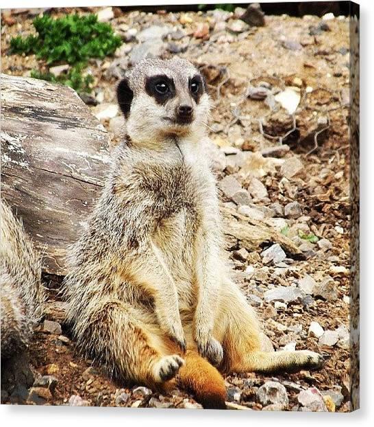 Meerkats Canvas Print - Sitting Meerkat by Kym Wilson