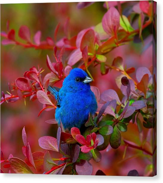 Buntings Canvas Print - Sitting Pretty by John Absher
