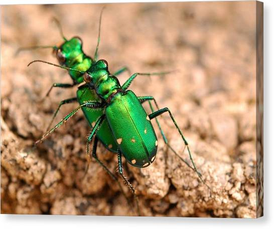 Six-spotted Tiger Beetle Mating Canvas Print by Janet Hawkins