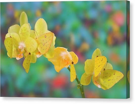 Sulfur Butterfly Canvas Print - Six Yellow Sulfur Butterfly Hanging by Darrell Gulin