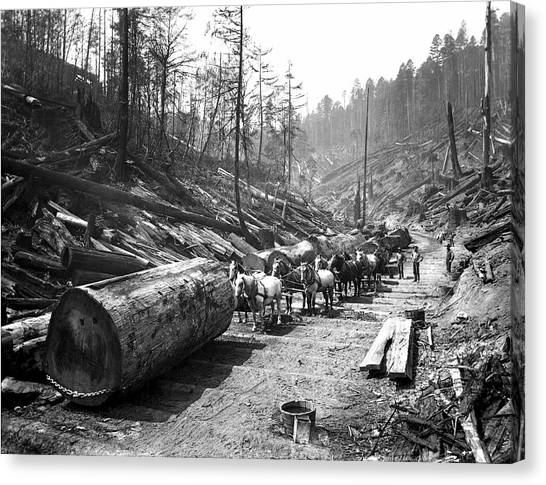Redwood Forest Canvas Print - Skidding Redwood Logs C. 1890 by Daniel Hagerman