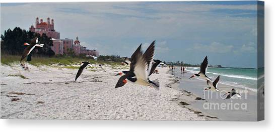 Black Skimmers At Don Cesar Canvas Print
