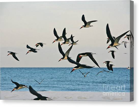 Skimmers Flying Canvas Print