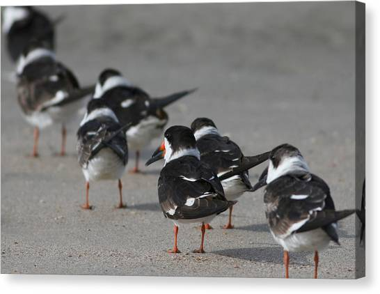 Skimmers On Parade Canvas Print