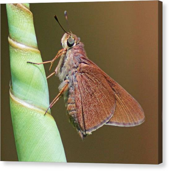 Skipper Butterful Canvas Print by Dart and Suze Humeston