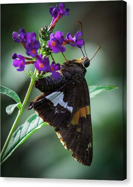Skipper Z Canvas Print