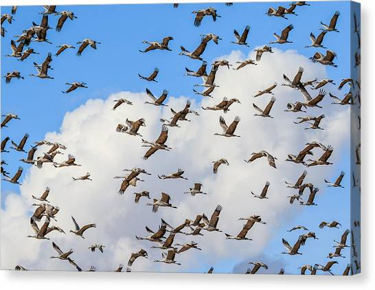 Skyful Of Cranes Canvas Print