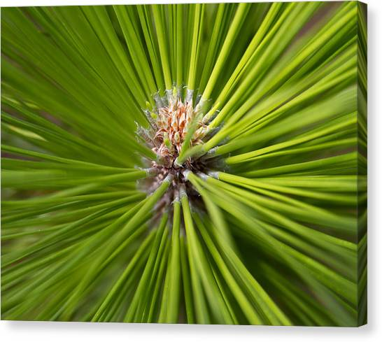 Slash Pine Needles 2 Canvas Print